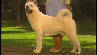 Akita  AKC Dog breed series