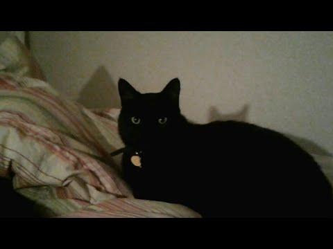 Meet Mel The Bombay Cat! :)