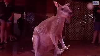 Австралийский кенгуру - маленькие , милые животные и кенгуру боксеры