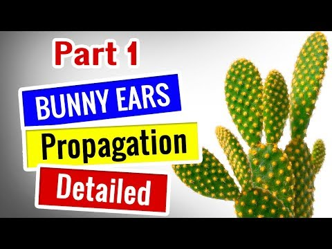 Bunny Ears Cactus Propagation - Opuntia Microdasys - Detailed || Succulents for Beginners