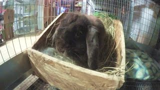 Holland Lop Rabbit Giving Birth - Baby Bunny Updates