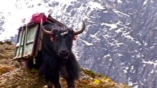 The yak train carries all of our supplies, food, and water for a 10...