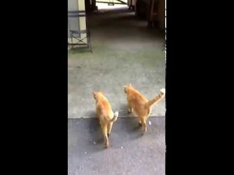 Ginger Tabby Cats going to barn - big cats!