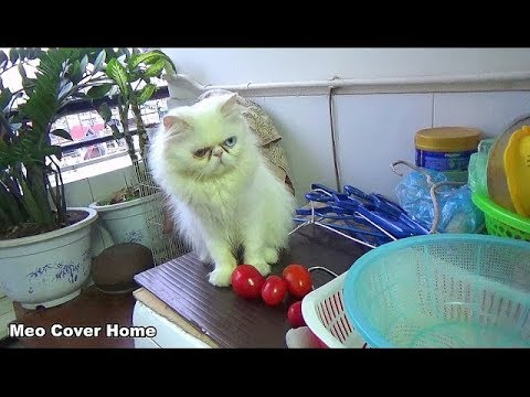 Cat Playing So Funny And Crazy | Funny Cat Video 2017 | Meo Cover Home