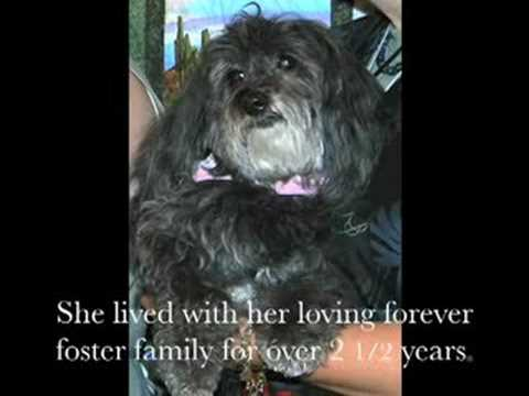 The Special Needs Dogs of Havanese Rescue Inc