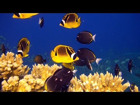 Fish and Sharks of French Polynesia - Diving at Fakarava, in HD