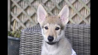 Czech wolfdog puppy first months photo's. These are some photo's ( ...