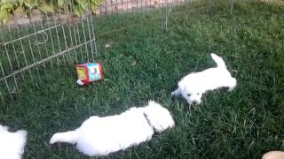 Westie Pups Playing Chi-chi And Blossom