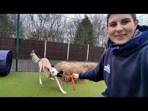 Training a Rescue Saluki- with three legs!