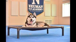 Indi (Siberian Husky) Puppy Camp Dog Training Video Demonstration