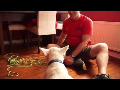 Hamish - West Highland White Terrier, desensitisation to handling