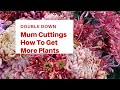 How to double your Fall Mum blooms!