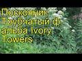Посконник трубчатый ф. альба Айвори Тауэрз. Обзор eupatorium fistulosum f. albidum Ivory Towers