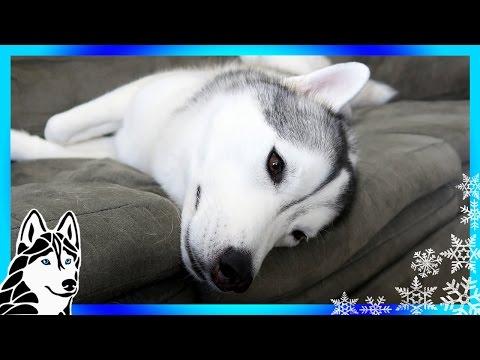SHOULD DOGS WEAR COLLARS INSIDE ? | #AskGTTSD 286 | Siberian Husky