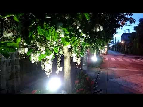 サガリバナの名所「瑞泉通り」ライトアップ