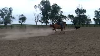 6 year old sorrel horse