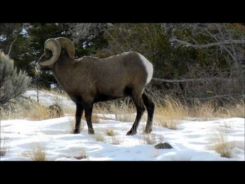 Hunting Bighorn Ram with a Camera
