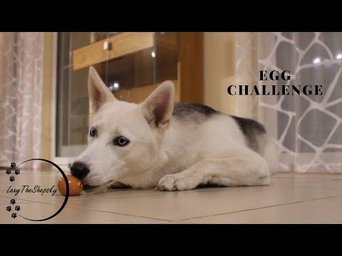 Dog mastered the Egg Challenge   Egg Challenge 2019   Dog Eating Egg Shells