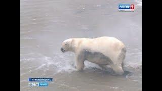 Белые медведи продолжают удивлять: ученым удалось получить данные с GPS датчиков