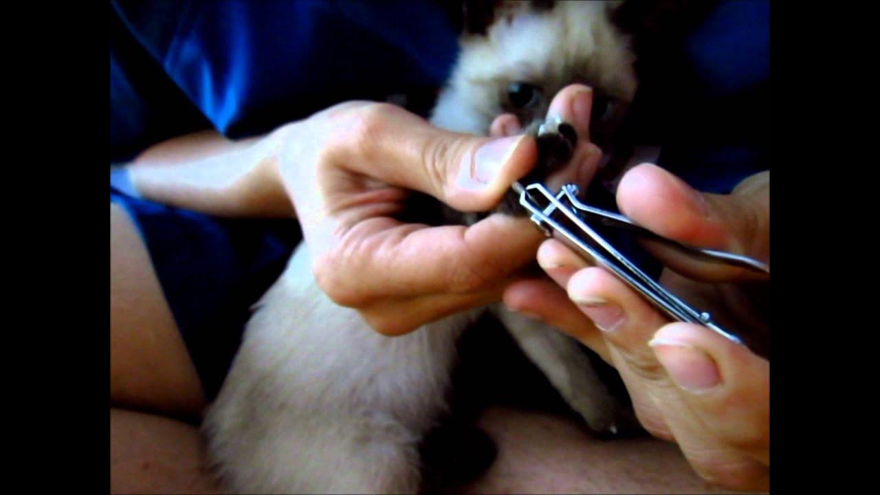 Como cortarle las u as a tu gato con un corta u as com n - Cuando se poda los rosales ...
