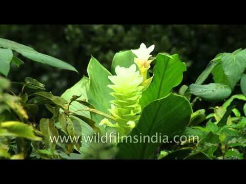 Chavar (Hitchenia caulina) at wilson point, Mahabaleshwar