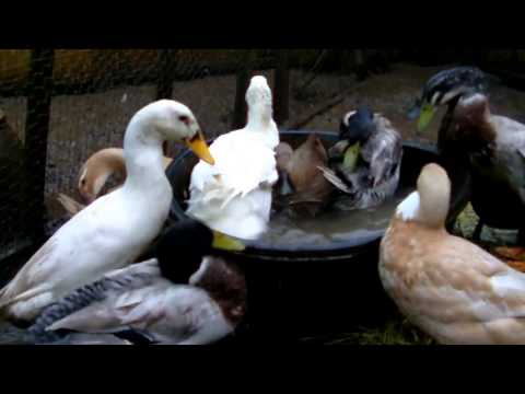 Domestic ducks having a bath
