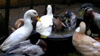 Domestic ducks having a bath