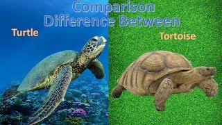 Difference between turtle and tortoise | Tortoise vs Turtle Comparison