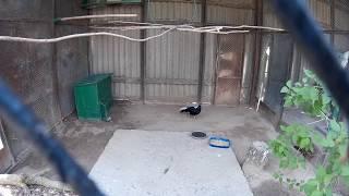 Необычный вид кур в зоопарке   самец и самка
