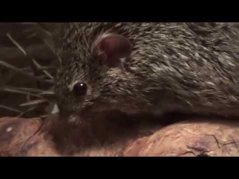 African Grass Rat (Arvicanthis niloticus) Prague Zoo חולדת דשא אפריקאית
