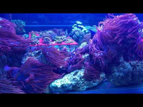 Alaska Coral and Fish, Tank builds