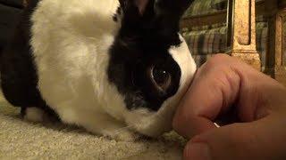 Spoiled rabbit demands petting!