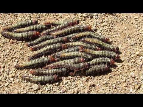 moving sawfly larvae