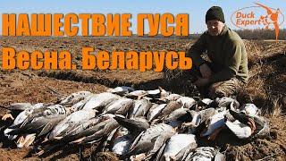 НАШЕСТВИЕ ГУСЯ! Охота на гуся весной в Беларуси! Duck Expert goosehunting in Belarus