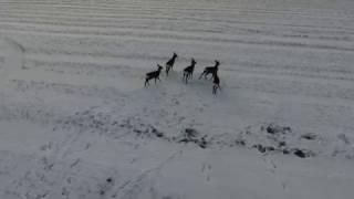 Охотник квадрокоптер преследует диких животных!