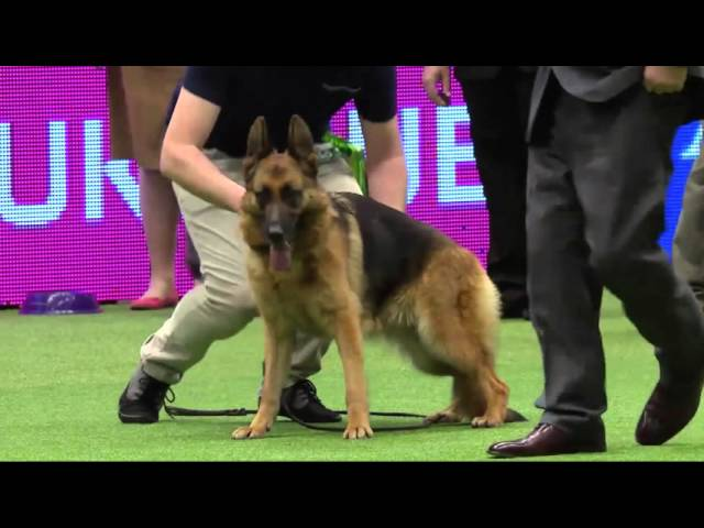 Crufts 2016: 'Sloping back' German shepherd owner claims her life