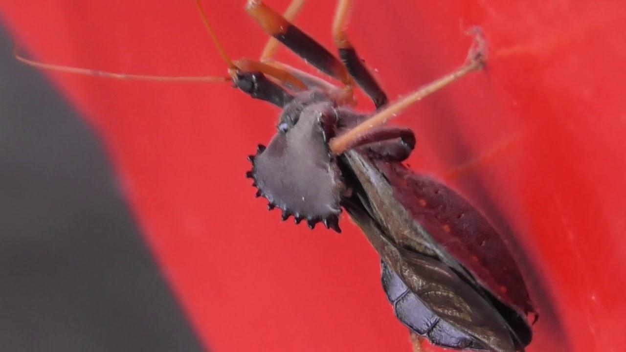 picadura de mosquito pito
