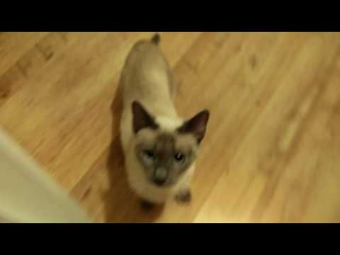 Siamese cat in heat going crazy