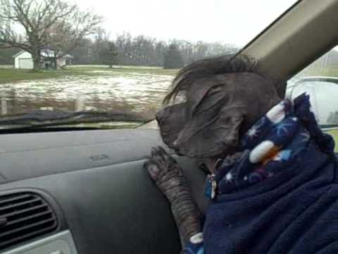 Bark and Ride (Peruvian Hairless Obama Dog, pt. III)