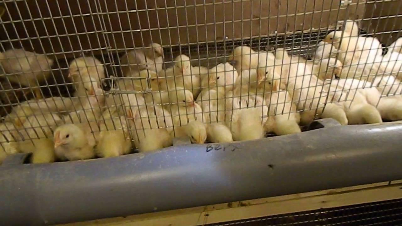 Кормушка для цыплят своими руками видео фото 230