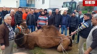 Dev proje için 900 kiloluk deve kestiler
