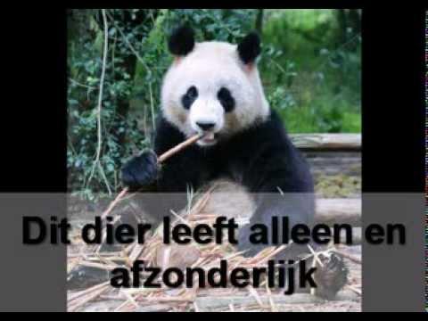 Informatie Over Panda S Youtube