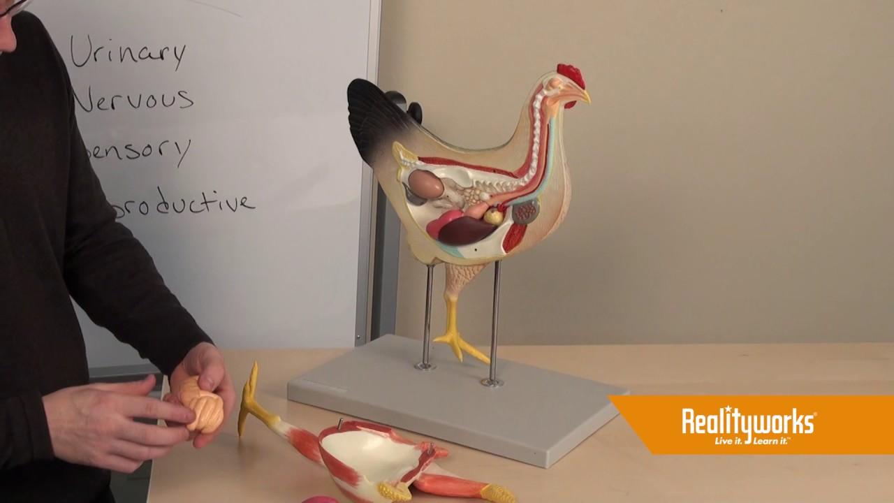 Animal Science Chicken Model Youtube