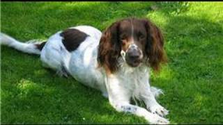 Dog Grooming : How Do I Groom A Springer Spaniel?