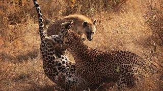 дикие животные атаки#2✿◕леопард нападки Гиены✿◕Leopard c олень, Бедный Гиена, гепард