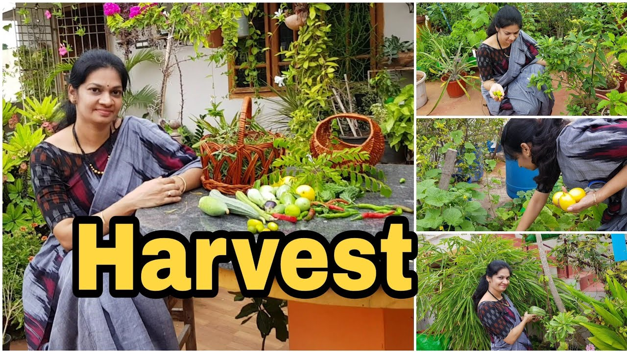 Terrace Garden Harvest / grow your food /ఇవాళ కోసిన కూరగాయలు #vegetable gardening  #madgardener