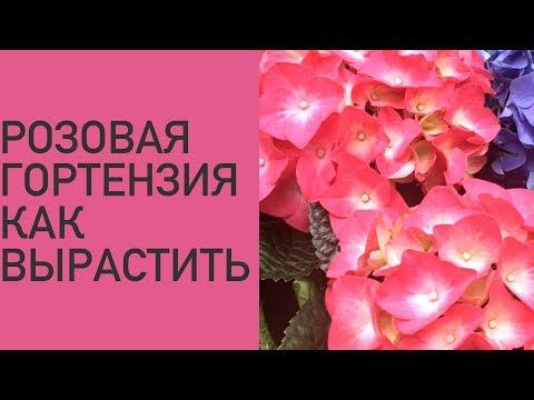 Розовая гортензия. Как вырастить ?