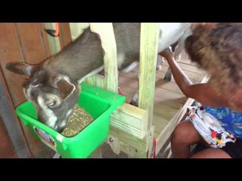 Milking Goats Rita