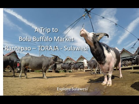 Trip to the Bolu Buffalo Market Rantepao Toraja Sulawesi (Pasar Bolu)