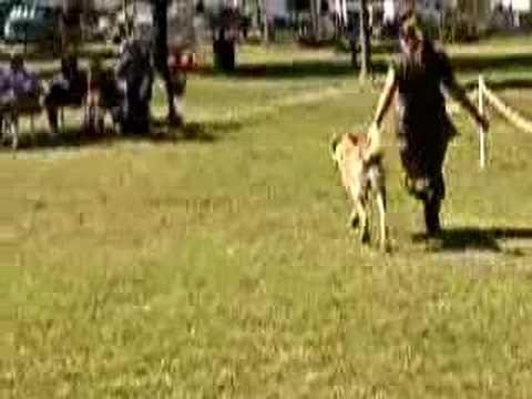 Anatolian Shepherd Dog at ASDCA National Specialty